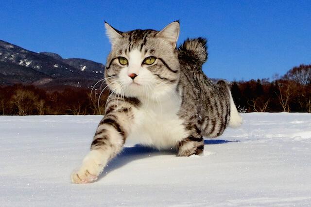 日本全国を旅する、鹿児島生まれのサバ白猫ニャン吉