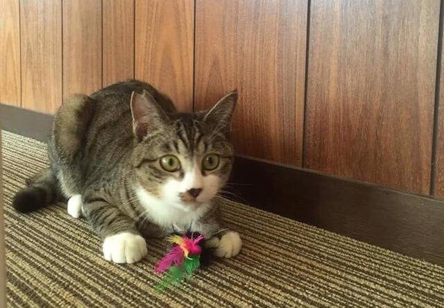 保護猫カフェ「ヘミングウェイ」にいる玩具で遊ぶ猫
