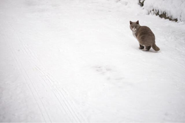 カメラマン吉田裕吏洋の撮影した写真、雪道で振り返る猫