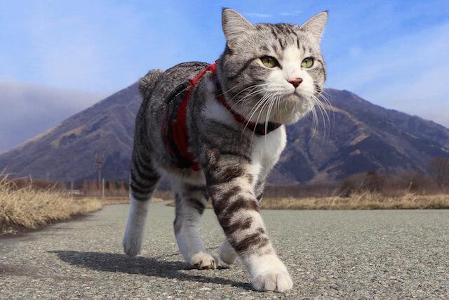 キリッとした表情で歩くニャン吉