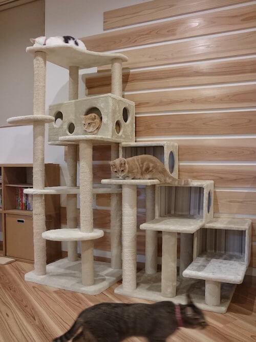 猫カフェ 「ごろーにゃ」にはキャットタワーが複数設置