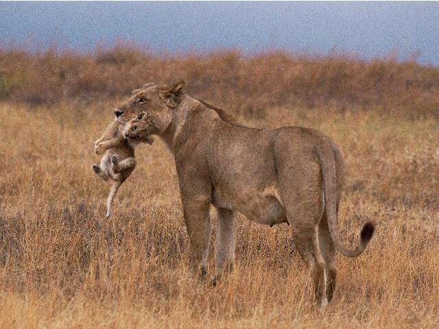 「ネコライオン」、子供を咥えて運ぶライオンの写真