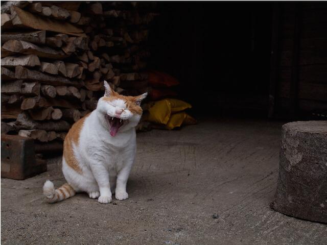 「ネコライオン」、あくびをしている猫の写真