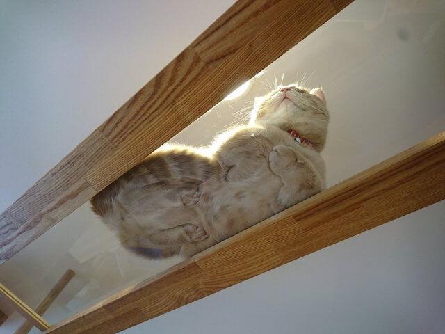 透明の板の下から猫の香箱座りを眺めることができます