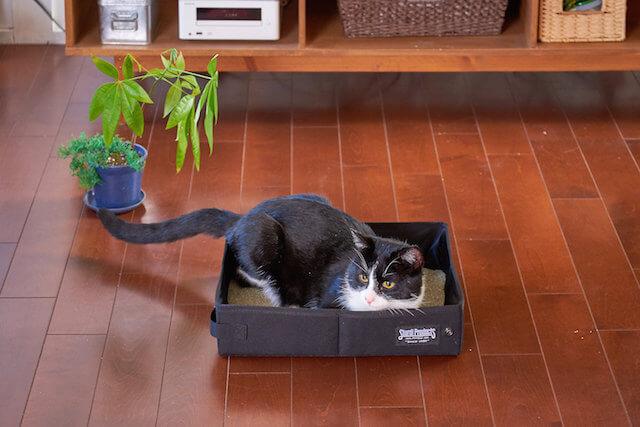携帯用猫トイレ「サンドボックス」を猫が使っているイメージ(ブラックカラー)