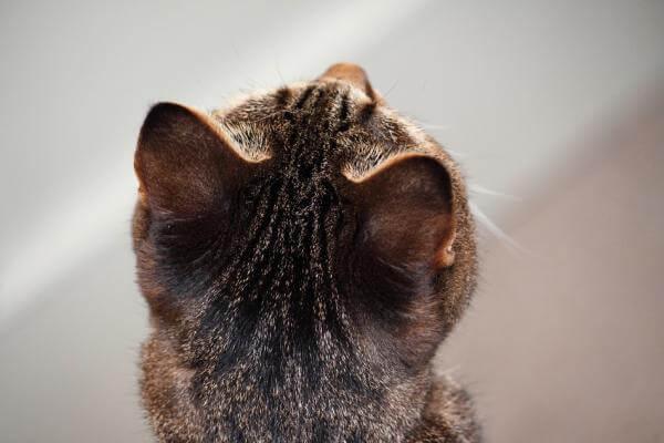 猫の部位別フェチ写真、猫の後頭部