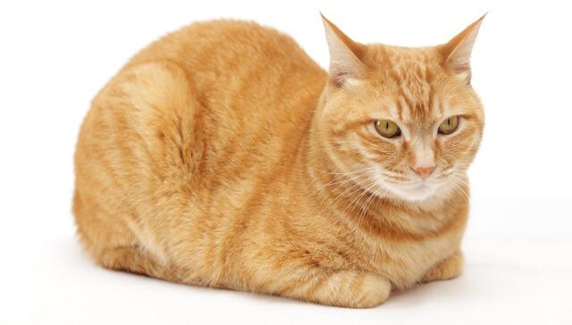 猫の好きな毛色(模様/柄)ランキング1位の茶トラ猫