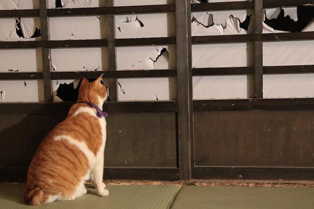 猫忍の主役猫、障子の穴から外を見張る「金時」