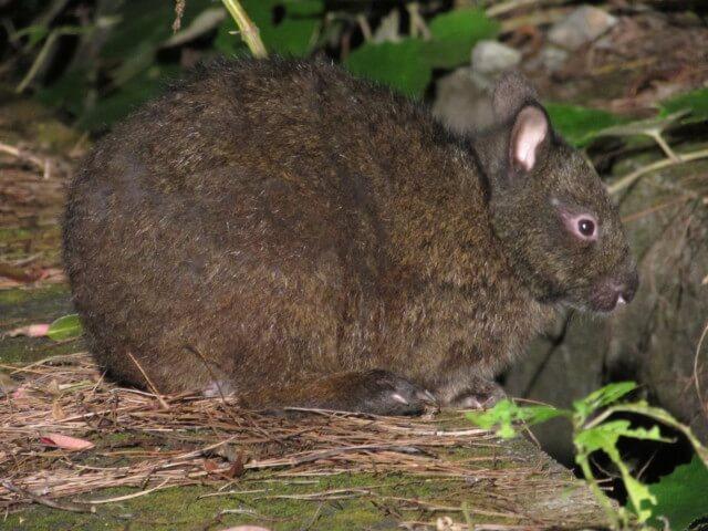 アマミノクロウサギの写真