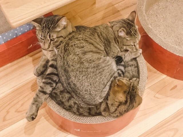 キジトラ系の猫団子