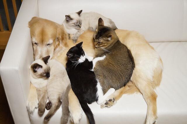 わさびちゃんちで、成猫の面倒を見る犬のぽんちゃん