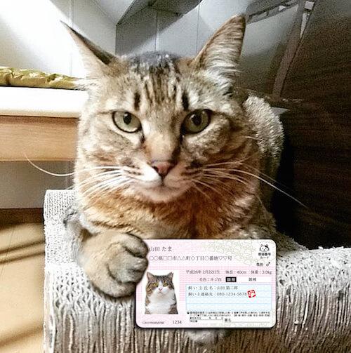 猫が「マイニャンバーカード」を持っている写真