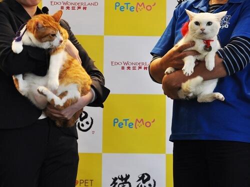 人気ネコ、金時とあなごの大きさ比較