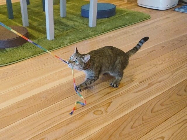 ミックスのメス猫 ころんちゃん