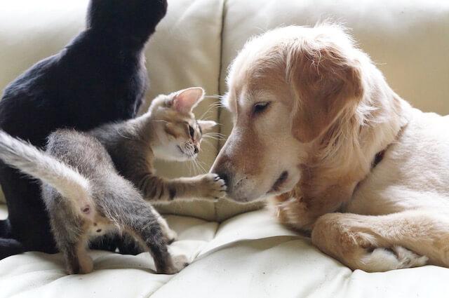 「わさびちゃんちのぽんちゃん保育園」の掲載写真、遊び盛りの子猫に大人の対応するぽんちゃん