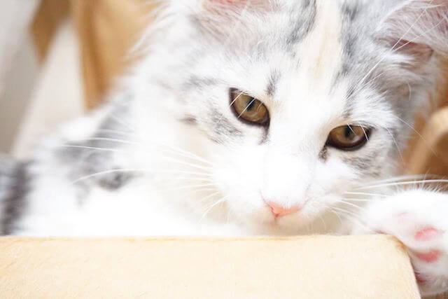 猫カフェmof.mof(モフモフ)にいるメインクーンの陽