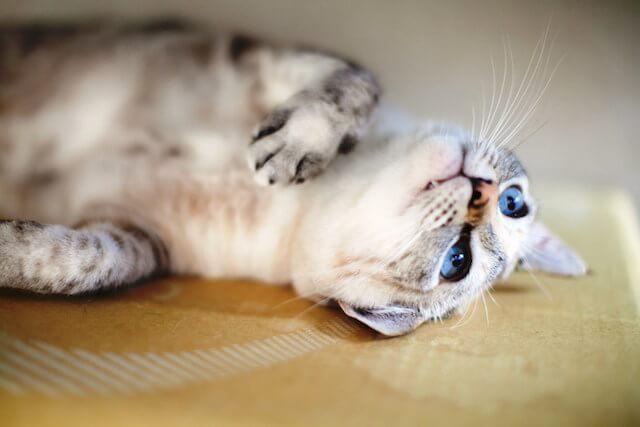 別府温泉 新玉旅館の看板猫、ミルク