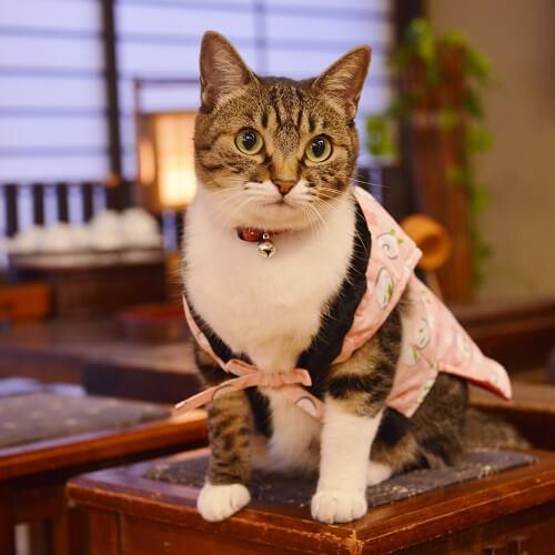 天童温泉 松伯亭 あづま荘の看板猫、まいちゃん