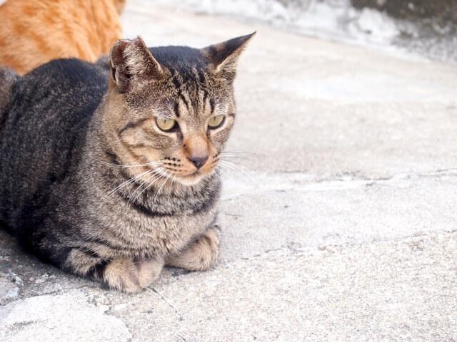 TNR活動によってさくら耳をカットされたさくら猫