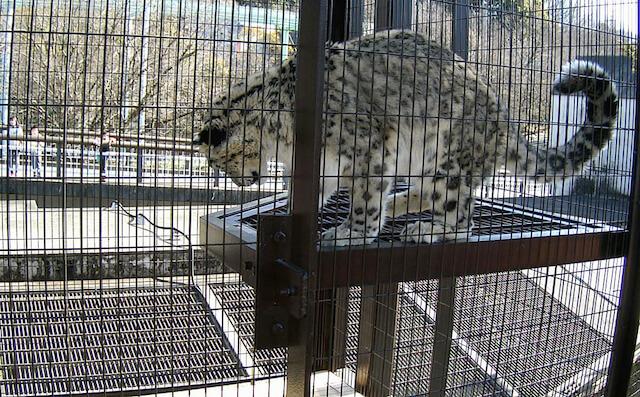 東山動植物園のユキヒョウ舎に設置されたステップ