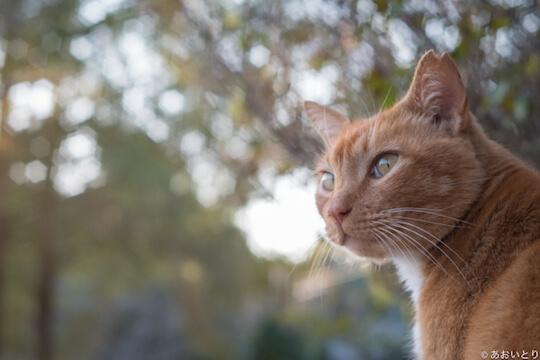 あおいとり氏のネコ写真作品、振り返る茶白ネコ