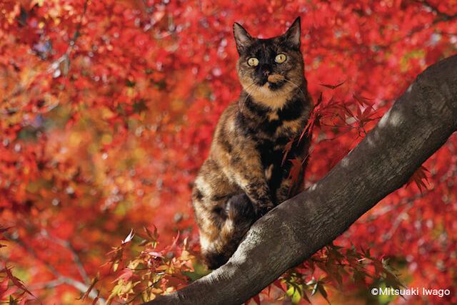岩合光昭さん「ねこの京都」、秋の紅葉を背景にした猫