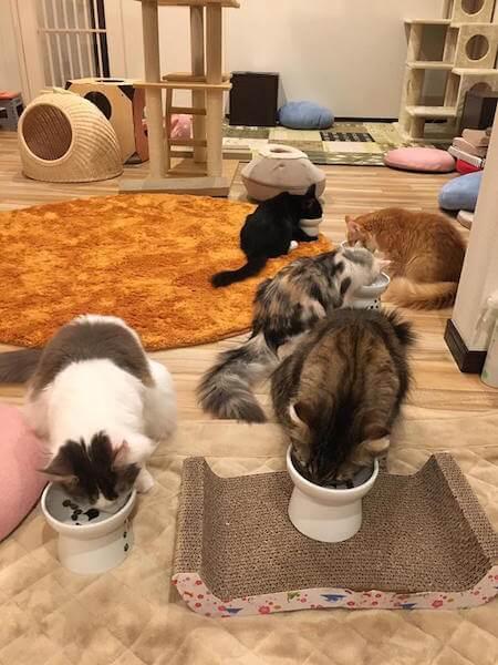 猫カフェmof.mof(モフモフ)にいる、5匹のメインクーン