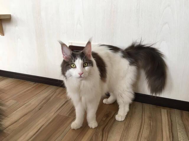 猫カフェmof.mof(モフモフ)にいるメインクーンの楓