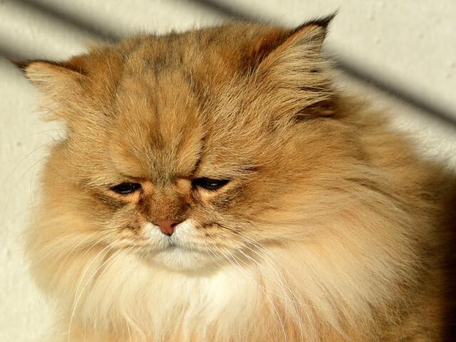 しょんぼり顔の人気猫「まるごとふーちゃん展」が大津で開催
