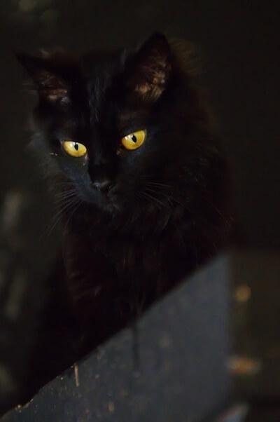 不吉なイメージを持たれることもある黒猫