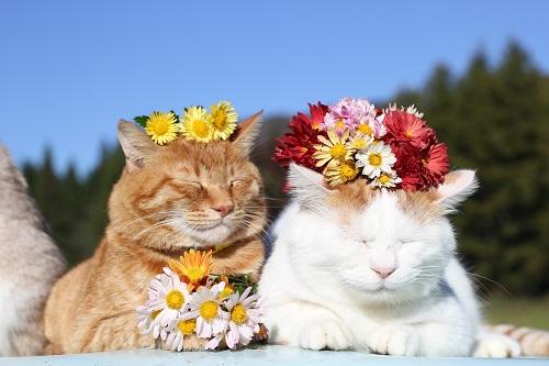 頭に花を乗せられる、のせ猫シロちゃんとチャトラ