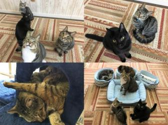譲渡型猫カフェにゃんくる川崎店にいる猫たち