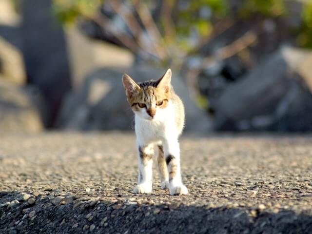 正面を向く野良猫