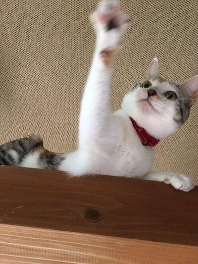 湯布院の猫カフェ「笑ねこカフェ」にいる猫、三毛猫の小春ちゃん