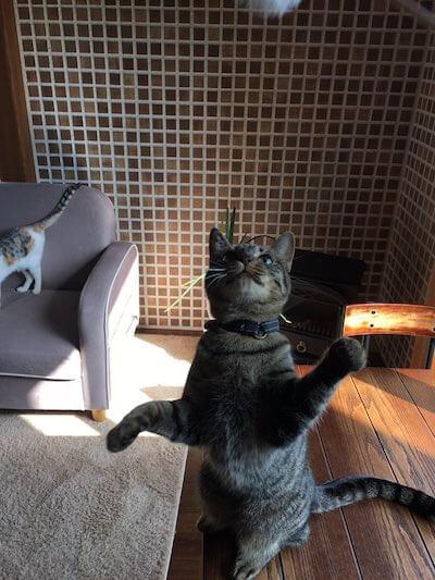 湯布院の猫カフェ「笑ねこカフェ」にいる猫、キジトラのあんずちゃん