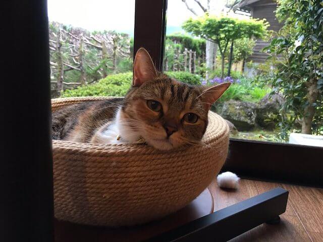 湯布院の猫カフェ「笑ねこカフェ」にいる猫、スコティッシュのきなこちゃん