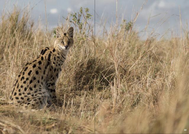 アフリカ大陸に生息する野生のサーバルキャット