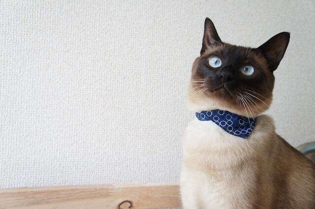 バンダナタイプの首輪を付けた猫