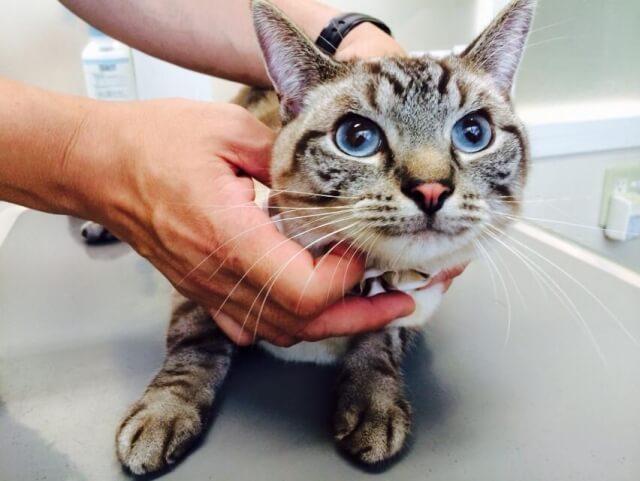 動物病院で獣医師の診察を受けている猫
