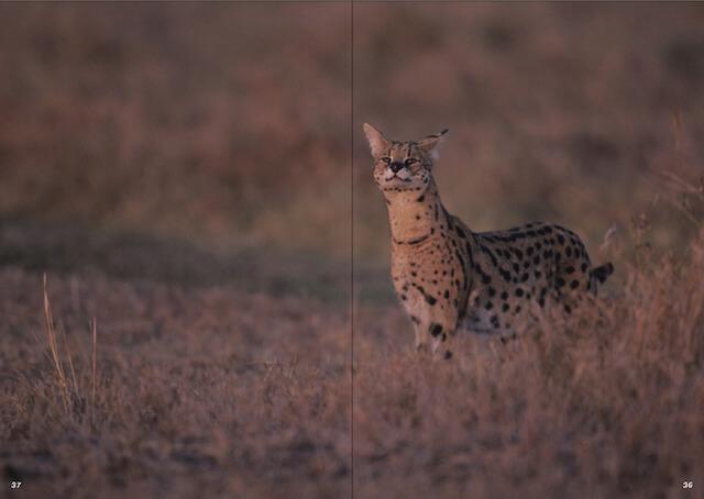 草原・サバンナに佇む野生のサーバルキャット