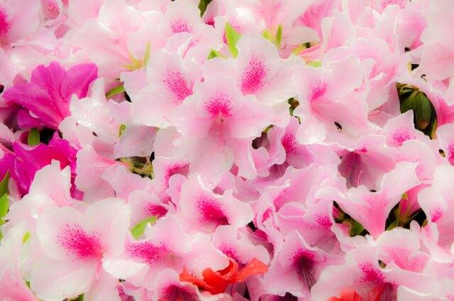 つつじが咲いている写真イメージ