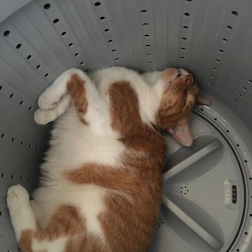 洗濯機の中で涼む猫