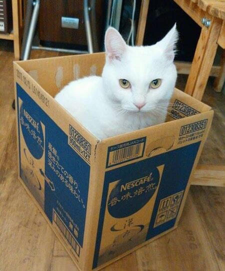 アトリエコメットの看板猫、白猫のスピカくん