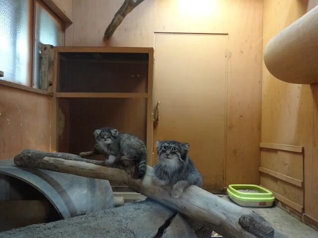 埼玉県こども動物自然公園にいるマヌルネコ