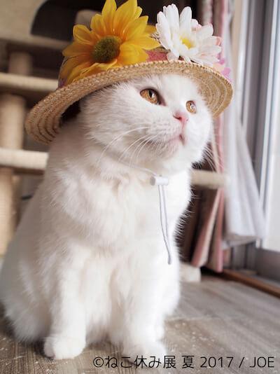 立ち耳スコティッシュフォールドの美人白猫「うらちゃん」