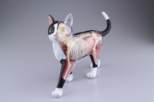 超リアルな猫の解剖模型