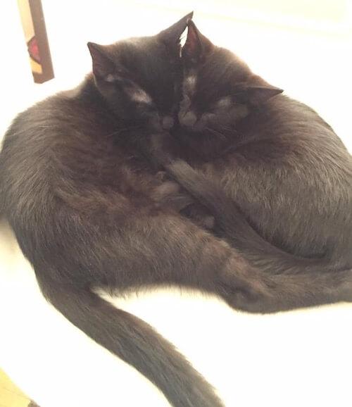 猫カフェ「みーちゃ・みーちょ」にいる保護猫、疾風くんと林華ちゃん