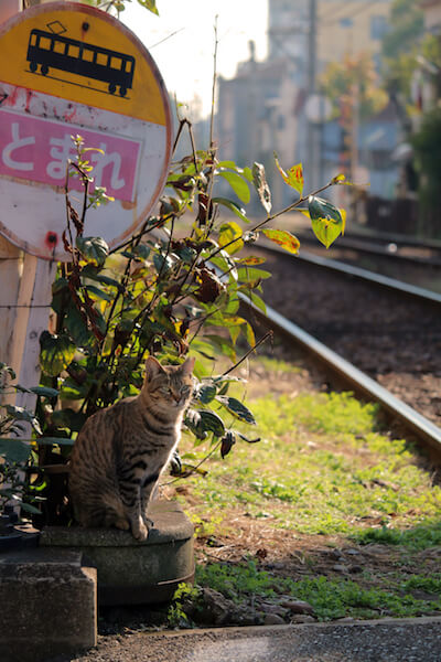 omuさんの「猫と鉄道写真」、線路脇に佇むキジトラ猫