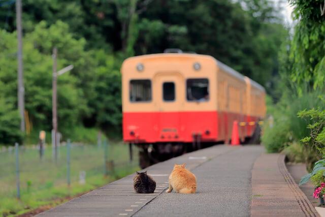 punkumaさんの「猫と鉄道写真」、ローカル線の駅のホームで電車を見送る2匹の猫