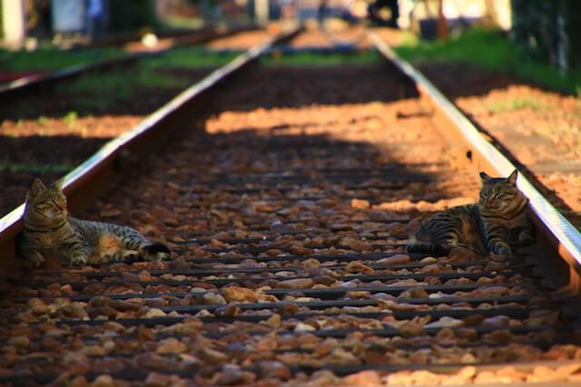 池野武志さんの「猫と鉄道写真」、線路の枕木の上でくつろぐ2匹のキジトラ猫